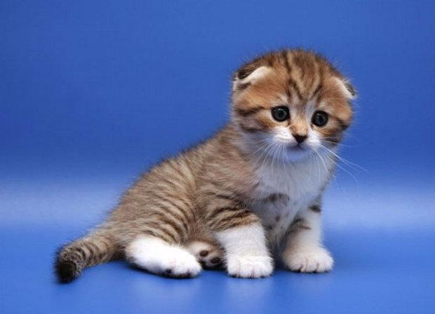 Deskripsi Dan Fitur Kucing Lipat Skotlandia Tentang Kucing Lipat Skotlandia